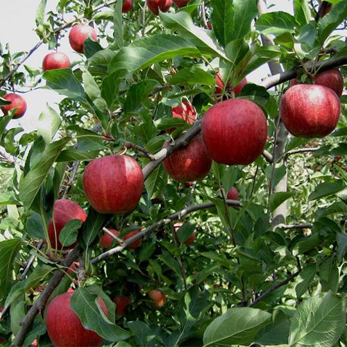 Galaxy Gala Le Tree Fruit